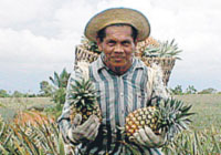 pineapples are one of the best export of panama